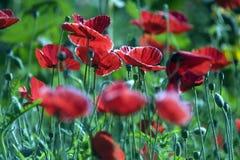 poppy orientalny Obraz Stock