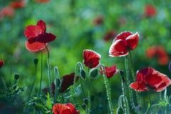 poppy orientalny Fotografia Stock