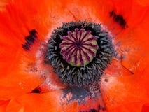poppy orientalny Fotografia Royalty Free
