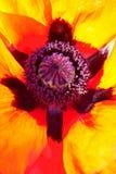 poppy orientalny abstrakcyjne Zdjęcia Royalty Free