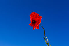 Poppy over sky Royalty Free Stock Photos