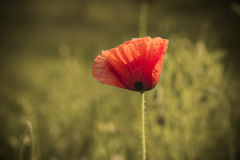 Poppy on pale background Stock Photography