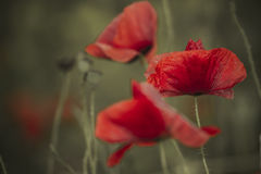 Poppy on pale background Royalty Free Stock Image