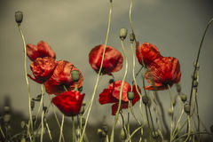 Poppy on pale background Stock Images