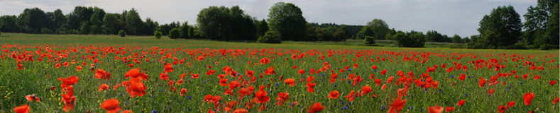 Poppy panorama. A panorama shot of an ocean of poppies Royalty Free Stock Images