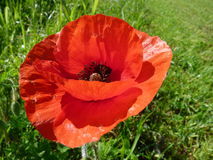 Poppy or Papaver in an English field. England in June and a poppy turns to the sun Stock Photography