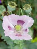 Poppy (papaver) Royalty Free Stock Image