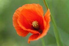 Poppy - Papaver Stock Images