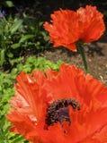Poppy (Papaver Orientale). Red poppy bloom in spring garden Royalty Free Stock Image