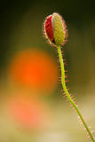 Poppy - Papaver rhoeas Royalty Free Stock Photo