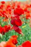 Poppy Papaver-rhoeas Stock Afbeeldingen