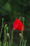 Poppy (Papaver rhoeas). Stock Photography