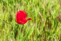 Poppy Papaver-rhoeas op groen gebied royalty-vrije stock foto's