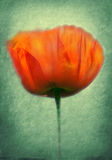 Poppy pasted on a grunge background Royalty Free Stock Photography