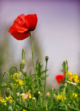 Poppy patch. Red poppy flowers ,  close up Stock Photos