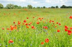 Poppy Perennial Flowers Immagini dei fiori dei papaveri Fiori rossi di fioritura dei papaveri con il prato dei wildflowers Fotografia Stock Libera da Diritti