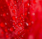 Poppy petal macro Stock Photography