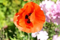 Poppy with a petal shielded Royalty Free Stock Photo