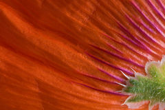 Poppy Petals Stock Photos