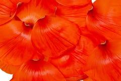 Poppy petals Royalty Free Stock Image