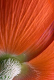 Poppy Petals from the back Royalty Free Stock Photo