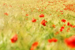 Poppy. Picture of some poppys between a field Royalty Free Stock Photo