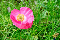 Poppy pink on the lawn Royalty Free Stock Images