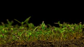 Poppy Plant creciente