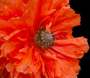 Poppy plant flora. Isolated flower Stock Image