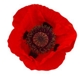 Poppy plant flora. Plant macro Royalty Free Stock Image