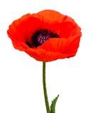 Poppy plant flora Stock Images