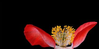 Poppy, Plant, Nature, Macro, Close Stock Photography