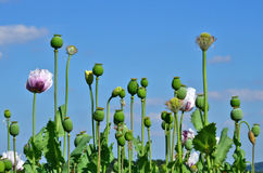 Poppy plant  papaver somniferum Stock Photo