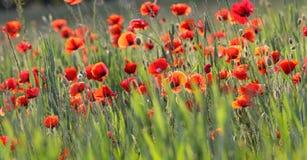 Poppy plantation Stock Image