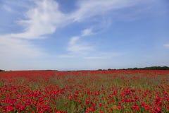 Poppy plants on field Royalty Free Stock Image