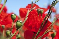 Poppy pods Stock Photos