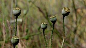 Poppy Pods With Blur bakgrund royaltyfri fotografi