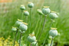 Poppy pods Royalty Free Stock Image