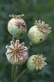 Poppy pods - Poppy heads. Opium poppy pod with seeds. Poppy seed capsule on green background. Poppy plant - as a natural source of Morphine and Codeine. Poppy Stock Images