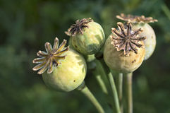 Poppy pods - Poppy heads. Opium poppy pod with seeds. Poppy seed capsule on green background. Poppy plant - as a natural source of Morphine and Codeine. Poppy Stock Photography