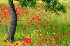 poppy pola zdjęcia royalty free