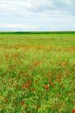 poppy pola Zdjęcie Stock