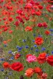 poppy pola Zdjęcia Stock