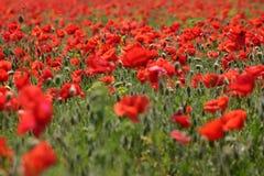 poppy pola Obraz Royalty Free