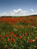 poppy pola Fotografia Royalty Free