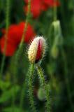 poppy pola bud Obraz Royalty Free