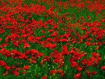 poppy pole zdjęcia royalty free