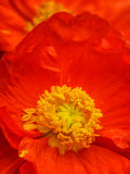 Poppy and Pollen. Vibrant red/orange poppy detail with pollen clearly visible on the stamens and petals Stock Images