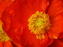 Poppy and Pollen. Vibrant red/orange poppy detail with pollen clearly visible on the stamens and petals Royalty Free Stock Photography