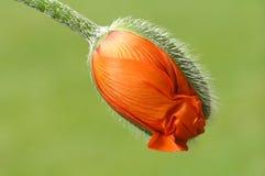 poppy pomarańczowe Zdjęcia Royalty Free